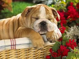 cao dormindo